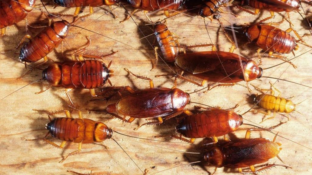 Большое количество тараканов