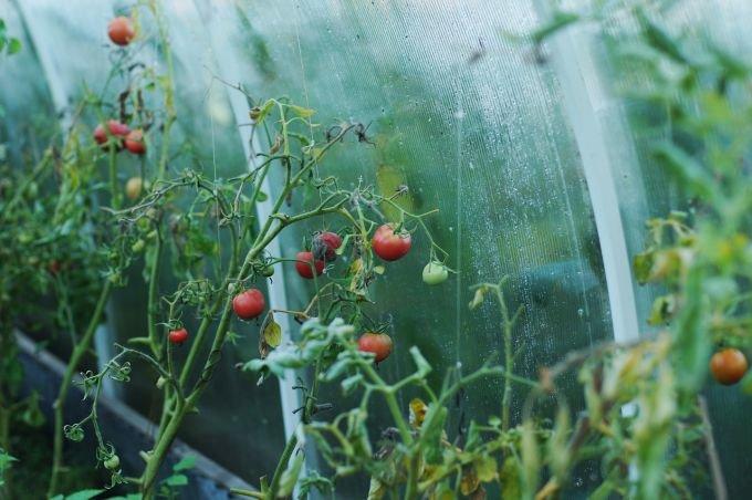 Что делать, если помидоры чернеют на кусту