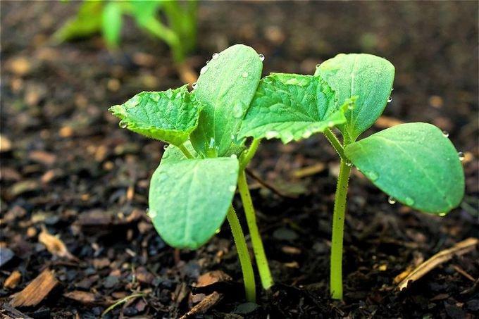 Остановка роста огурцов в открытом грунте